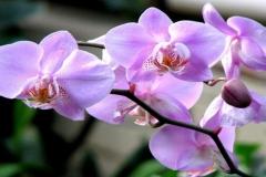 orhideia