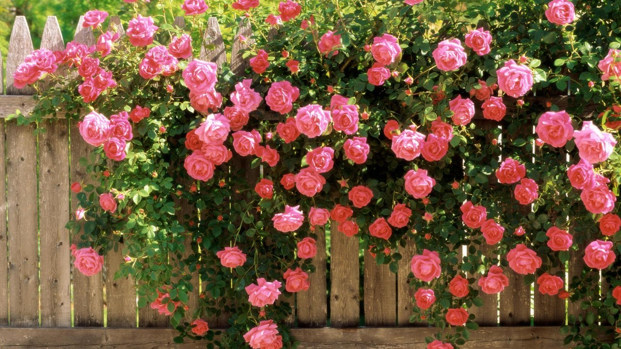 rozi1
