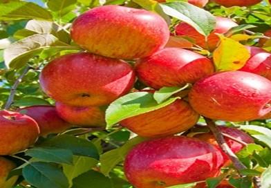Ябълка-полезна,полезна и пак полезна