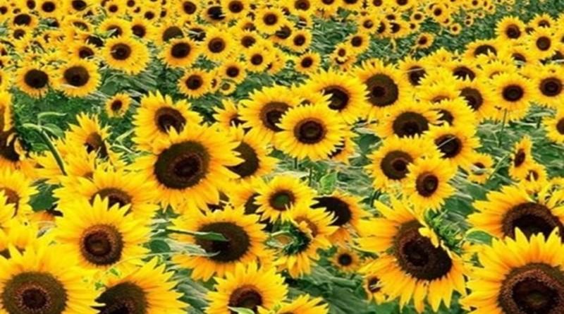 Лечебни ползи от слънчогледа