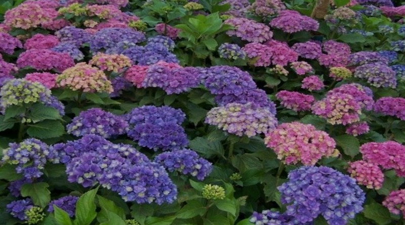 Хортензия-красота в градината и еликсир за здравето