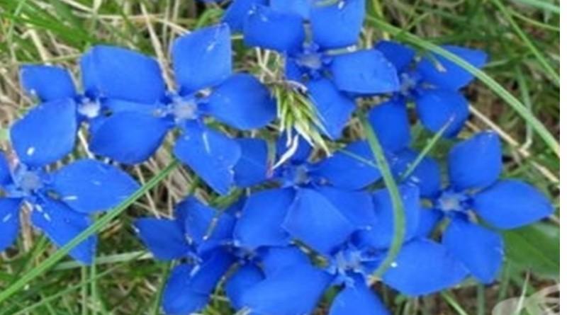 Синя тинтява при лениви черва и анемия