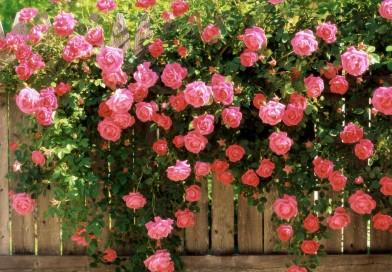 Пролет е- да се погрижим за розите в градината