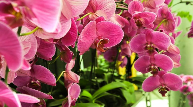 Как да се грижим за орхидеята Фаленопсис (Phalaenopsis)